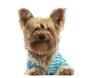Happy Yorkshire Terrier wearing a striped bleu shirt (2 years ol Royalty Free Stock Photo