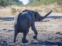 Happy young African elephant walking through mud at Moremi NP, Botswana, Africa Royalty Free Stock Image