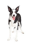 Happy Young Collie Mixed Breed Dog Standing Stock Photos