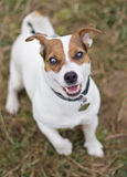 Jack Russell Terrier Royalty Free Stock Images