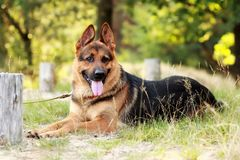 Happy young german shepherd dog with its tongue out lying on the grass. In the forest Stock Photo