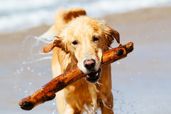 Happy Young Golden Retriever Stock Photo