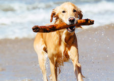 Happy Young Golden Retriever Royalty Free Stock Photo