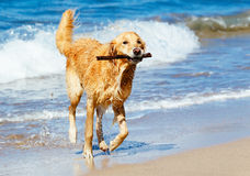 Happy Young Golden Retriever stock images