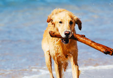 Happy Young Golden Retriever Stock Image