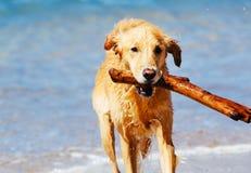 Happy Young Golden Retriever Stock Image