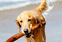 Happy Young Golden Retriever Royalty Free Stock Images