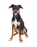 Happy Young Hound Crossbreed Dog Stock Photography