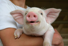 Happy young pig stock photos