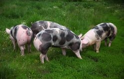 Spotted pietrian breed pigs grazing at animal farm on pasture Stock Images