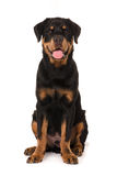Happy Young Rottweiler. Seated looking Front Royalty Free Stock Photography