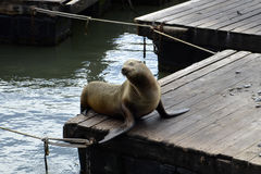 Happy young seal posing on a floating pontoon Stock Photo