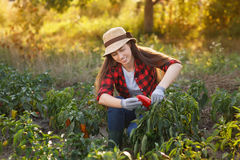 Woman gardener with bell pepper Stock Image