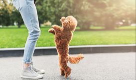 Happy young woman and little dog playing outdoors. Happy girl playing with curly puppy outdoors. Woman having fun with playful apricot toy poodle in city park royalty free stock photos