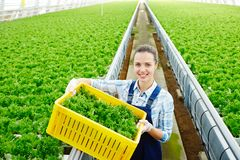 Young farmer. Happy young woman in uniform box of lettuce walking along aisle between plantations in greenhouse Stock Photos