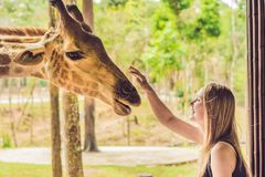 Happy young woman watching and feeding giraffe in zoo. Happy young woman having fun with animals safari park on warm. Summer day royalty free stock image