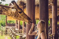 Happy young woman watching and feeding giraffe in zoo. Happy young woman having fun with animals safari park on warm. Summer day royalty free stock photos