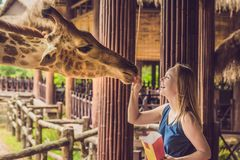 Happy young woman watching and feeding giraffe in zoo. Happy young woman having fun with animals safari park on warm summer day.  stock photo