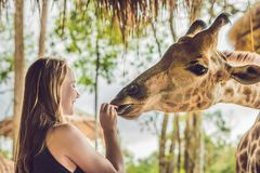 Happy young woman watching and feeding giraffe in zoo. Happy young woman having fun with animals safari park on warm summer day.  royalty free stock photo