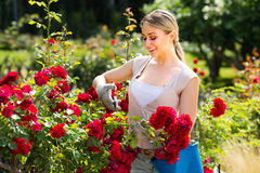 Happy young woman working with bush roses with horticultural too. Ls in garden on sunny day Stock Image
