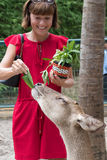 Happy youngwomanl feeding beautiful deer from hands in a tropical Bali Zoo park, Indonesia. Royalty Free Stock Photography