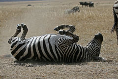 Happy Zebra. Plains zebra taking a dust bath Stock Photos