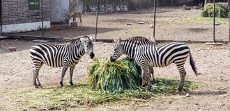 Happy zebra family Royalty Free Stock Photo