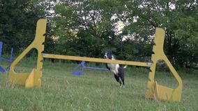 A happye border collie dog jumps over barriers, slow motion shooting stock video footage