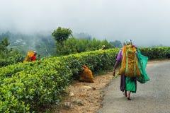 Haputale,斯里兰卡- 2018年4月18日:收集做的地方妇女传统饮料茶叶 免版税库存照片