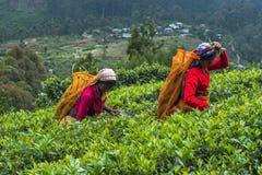 Haputale,斯里兰卡- 2018年4月18日:收集茶叶的地方妇女 免版税库存照片