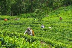 Haputale,斯里兰卡- 2018年4月18日:收集茶叶的地方妇女 库存图片