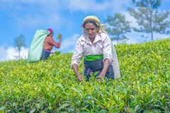 Tamil woman who works at Dambetenna estate breaks tea leaves. HAPUTALE, SRI LANKA – SEPTEMBER 02: Tamil woman who works at Dambetenna estate breaks tea royalty free stock image