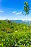 Haputale Tea Plantation Valley Mountains View V Stock Image