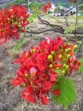 Hapuu Hawaiin trädormbunke, Kaui, Hawaii Royaltyfri Foto