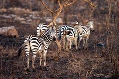 Harém da zebra das planícies Imagem de Stock