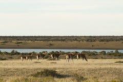 Harém dos guanacos na península Valdes Fotos de Stock Royalty Free