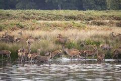 Harém dos veados vermelhos durante a rotina do outono que é forçada no lago pelo veado Foto de Stock Royalty Free