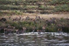 Harém dos veados vermelhos durante a rotina do outono que é forçada no lago pelo veado Fotos de Stock
