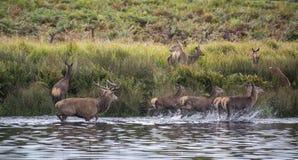 Harém dos veados vermelhos durante a rotina do outono que é forçada no lago pelo veado Imagens de Stock