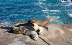 Harén del león marino cerca del punto La Jolla foto de archivo libre de regalías