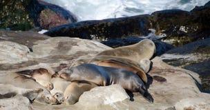 Harén del león marino grande cerca del punto La Jolla Fotografía de archivo