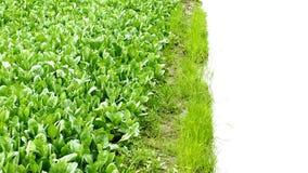 Har den högra täppan för grönkålväxtuppehället fritt utrymme Fotografering för Bildbyråer