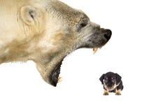 Harassement eines kleinen Hundes durch einen Eisbären lizenzfreie stockfotografie