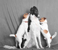 Harassing terriers. Two terriers an female dog Royalty Free Stock Photo