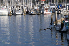 Harbor Flight. A bird that looks like a bat swoops down over the harbor royalty free stock photography