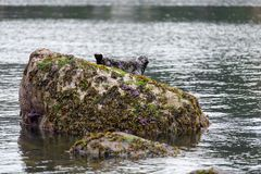 Harbor or harbour seal Phoca vitulina, also known as the com. Mon seal, lying on a rock with some purple sea star, at Whytecliff Park which is the first Marine Stock Photography