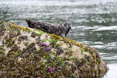 Harbor or harbour seal Phoca vitulina, also known as the com. Mon seal, lying on a rock with some purple sea star, at Whytecliff Park which is the first Marine Stock Image