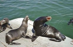 Harbor Sea Lion Stock Photo