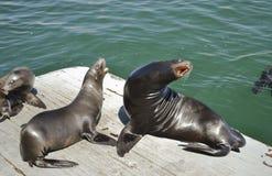 Harbor Sea Lion. Harbor seals sunning on a dock at Santa Cruz, Monterey Bay, California Stock Photo