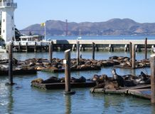 Harbor with Sea Lions in San Francisco Stock Images